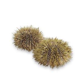 Fresh Green Sea Urchin from Iceland