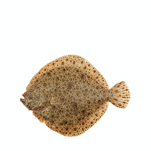 Fresh Line Caught Turbot from Brittany