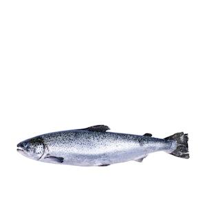 Air-flown Fresh Faroe Island Salmon (Wild-Raised) by Hiddenfjord